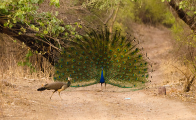 Peafowl Dance