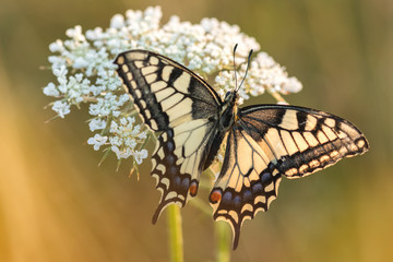 Foto auf AluDibond Schmetterlinge im Grunge Beautiful nature scene with butterfly. Macro shot of butterfly on the flower. Butterfly in the nature habitat.