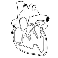 Heart Anatomy-Vector Illustration
