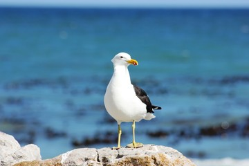One Seagull standing on rock with blue ocean background facing camera.