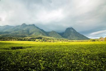 Golden green tea plantations at the foot of Mount Mulanje in Malawi with cloudy skies.