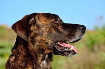 Profile of canario dog in foreground, bardino breed, Canary islands