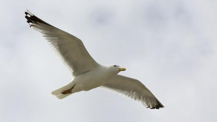 Fliegende Möwe auf der Nordseeinsel Sylt