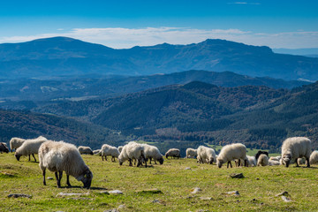 Sheeps pasturing in the mountains