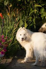 Samoyed dog in a garden