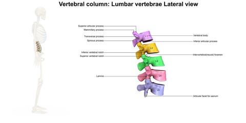 Skeleton_Lumbar Spine_Lateral