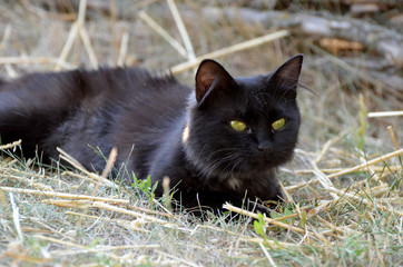 Elegant black cat with green eyes, photo