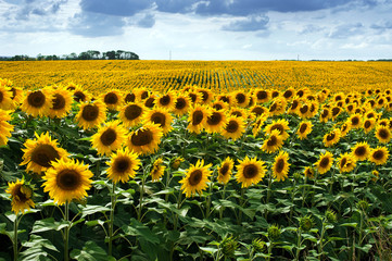 Wall Mural - Sunflower field in summer