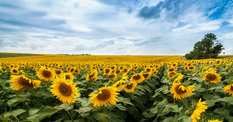 Fototapete - panoramic view of sunflower Field with lines