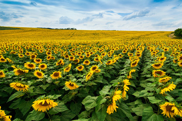 Wall Mural - Field of sunflowers lines