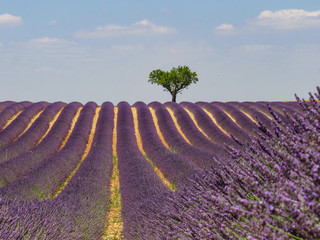 Herzbaum im Lavendel