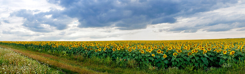 Fototapete - Summer landscape with a field of sunflowers with road
