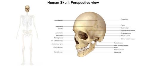 Skeleton_Skull_Perspective