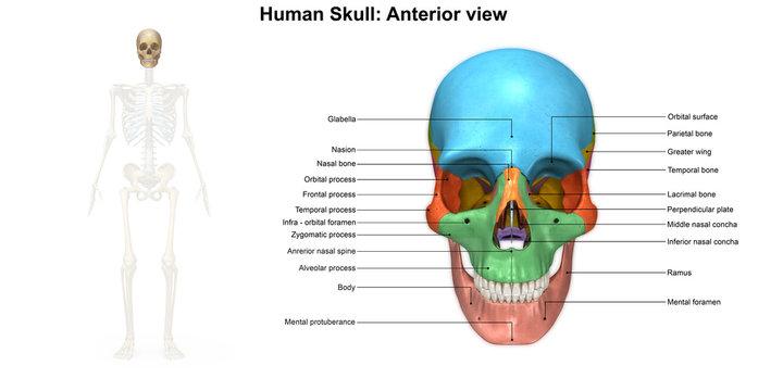 Skeleton_Skull Anterior view