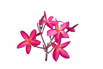 plumeria red flower isolated white background frangipani pink beautiful nature