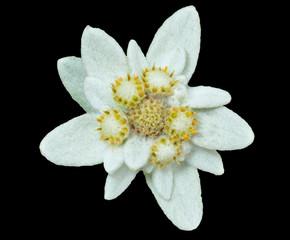 Edelweiss 8
