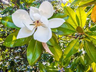 Branch of magnolia tree