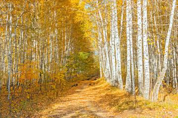 autumn birch forest