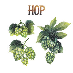 Watercolor hops on the branch