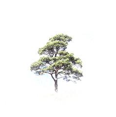 Pine on white background
