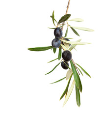 Stores à enrouleur Oliviers Natural Olive branch with black olives and leaves isolated on white background
