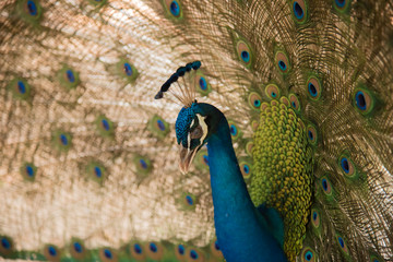 Photos of peacocks showing beautiful feathers.