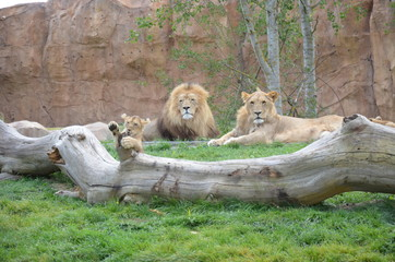 famille de lions : lion, lionne et son lionceau