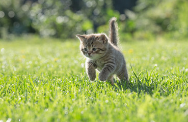 Young kitten jumping or running in green grass