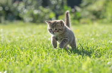 Papier Peint - Young kitten jumping or running in green grass