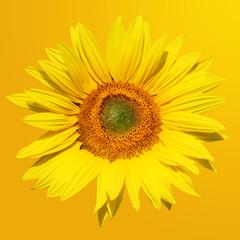 Sonnenblume auf gelbem Hintergrund