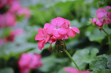 beautiful pink geranium flower blooming in garden