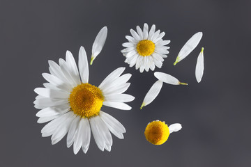 Chamomile flower flying petals