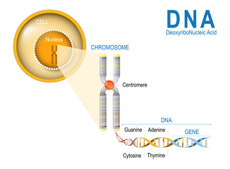 Cell, Chromosome, DNA and gene.