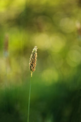 Timothy Grass with green and yellow Bokeh Background