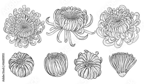 8795c85df Chrysanthemum vector on brown background.Chrysanthemum flower by hand  drawing.Floral tattoo highly detailed