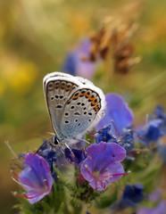 Бабочка-голубянка в природе