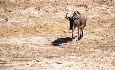 Wildebeest in the park