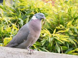 Portrait of adult common wood pigeon, Columba palumbus, perching on  wooden beam