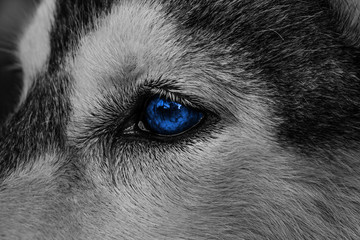 Close Up On Red Eyes Of Husky Buy This Stock Photo And Explore
