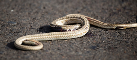 Auto crippled a snake on the road
