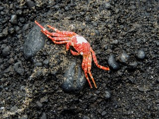 Hawaiian Crab Baked by Sun on Maui Island Volcanic Rocks