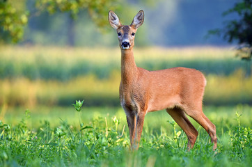 Spoed Fotobehang Ree Wild female roe deer in a field