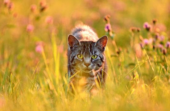 Cat in meadow, back lit by golden evening summer light