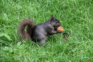 A cute squirrel cracking a chest nut in a New York park