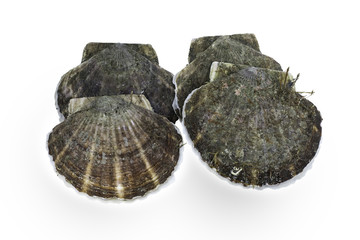 raw scallop on white background. Include clipping.