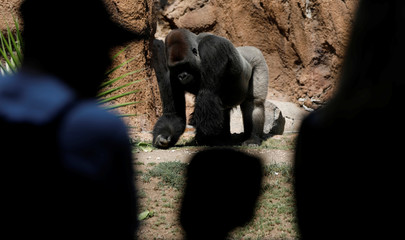 People look at a gorilla in an enclosure during a summer day at Los Angeles Zoo in Los Angeles