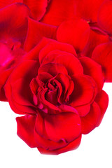 Red Rose petals fall  Isolated on white  background.  Valentine or Wedding background.