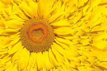 A pattern of bright yellow sunflowers on a white isolated background, an unripened sunflower with a yellow center, a background of a yellow flower