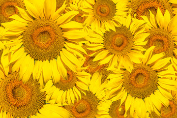 Pattern of bright yellow sunflowers on a white isolated background, an unripened sunflower with a yellow center, a background of yellow flowers