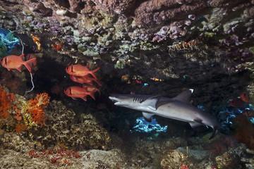 Juvenile whitetip reef shark, Junger Weißspitzen-Riffhai (Triaenodon obesus)